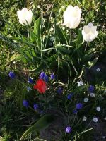 tulpenbluete-2020-04-10-05