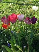 tulpenbluete-2020-04-10-06