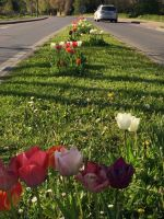 tulpenbluete-2020-04-10-07