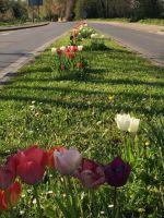 tulpenbluete-2020-04-10-08