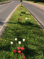 tulpenbluete-2020-04-10-09