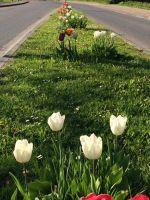 tulpenbluete-2020-04-10-10